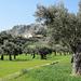 die Finca Mossa liegt inmitten eines Olivenhaines