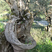 ein Olivenbaum mit Sessel - leider hatte ich keine Zeit mehr um darin auszuruhen