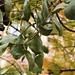 Früchte des Palisanderholzbaumes (Jacaranda mimosifolia). Sein Ursprungsgebiet liegt in den Hochebenen Brasiliens, Argentinien und Paraguay.
