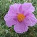 Heckenrose - Blütenblätter wie aus Seidenpapier