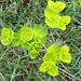 grüne Blüten - eher selten