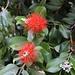 Pohutukawa (Metrosideros excelsa). Der Baum wird manchmal auch Neuseeländischer Weihnachtsbaum genannt da er in der kalten Jahreszeit blüht.