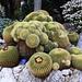 Goldkugelkaktusse (Echinocactus grusonii) im Jardin Exotique. Der Garten hat die weltgrösste Sammlung an verschiedenen Katusarten und wurde 1933 angelegt.