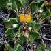 Ferocactus robustus mit gelber Frucht im Jardin Exotique. Die Pflanze ist in Mexiko heimisch