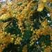 Blühende Silber-Akazie (Acacia dealbata). Der Baum stammt ursprünglich aus Südostaustrallien und wird in Europa oft fälschlicherweise als Mimose bezeichnet.