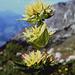 Der letzte verspätete Gelbe Enzian in Blüte am Aufstieg zum Nebelhorn (2224m)