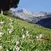 Herbstzeitlose mit Nebelhorn (2224m)