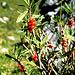 Seidelbast, Früchte am Weg zur Lindauer Hütte<br />Achtung: Sehr giftig