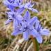 albastru...../ blu flower