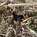Auch die Schmetterlinge spüren den Frühling...<br /><br />Es kreucht und fleucht (II)