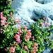 Alpenrosen am Weg zum Risserkogel