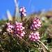 Sonnenseitig blühen die Erikas (Schneeheide, Erica carnea)