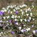 Die Frühlingskorkusse schiessen in Massen aus dem Boden heraus