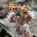 Der kleine Fuchs (Aglais urticae) erlabt sich an der Alpen-Pestwurz (Petasites paradoxus)