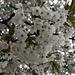 .....und die Kirschbäume