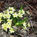 An der Bisse Neuf de Planige: Schaftlose Primel (Primula acaulis)
