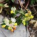 Am Wegrand blüht die Buchsblättrige Kreuzblume (Polygala chamaebuxus)