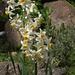 Narcissus Poeticus ..... specie spontanea nella Cala del Ceppo.