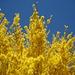 Herrliche Farben- und Blütenpracht - hier Forsythien