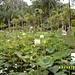 Lotusteich im Pamplemousse Botanischen Garten