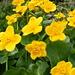 GALBENUL PRIMAVERII/spring yellow