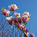 Prächtige Magnolien
