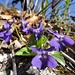 auch die Veilchen sind nebst zwei weiteren Blumenarten heute zu Hunderten anzutreffen ...