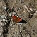 Auch dieser Schmetterling spürt den Frühling. Leider weiss ich nicht, um welche Art es sich handelt.