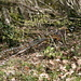 Was raschelt da im Wald? Ein [http://www.tierportraet.ch/htm/koenigsfasan.htm Königsfasan]!
