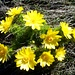 Frühlings-Adonisröschen (Adonis vernalis) 1