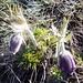 Küchenschelle (Pulsatilla vernalis)