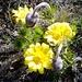 Adonisröschen (Adonis vernalis) im Duett mit der Küchenschelle (Pulsatilla vernalis)