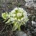 Weisse Pestwurz (Petasites albus).