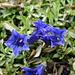 Enziane im Mittelland: Ist das der kochsche Enzian (grüne Flecken im Blüteninnern)?