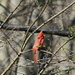 Ohio's state bird, a male Cardinal  (Northern Cardinal, Cardinalis cardinalis) - unfortunately I didn't get a closer, less blurry picture of this very nice bird