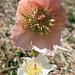 In voller Blüte die Schnee- oder Christrosen (Helleborus niger)