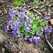 Hain-Veilchen (Viola riviniana).