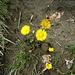 Huflattich (Tussilago farfara). Die Blütenstände des Huflattichs gehören zu den ersten Blumen des Vorfrühlings und bieten Insekten Nahrung. Daher empfiehlt es sich nicht, den gesamten Bestand an einer Stelle abzuernten.