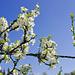 Vermutlich Pflaumenblüten (ev. Schwarzdorn)