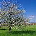 Blühender Baum kurz vor Meienried