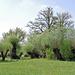 Teil des Naturschutzgebietes Meienriedloch: der Kopfweidenhain