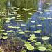 Meienriedloch: Grosse Teichrose (Nuphar lutea)