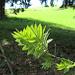 die Blätter entfalten sich zu einem frischen Grün