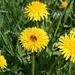 Nach den vielen Regentagen sind die Bienen besonders fleissig.