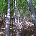 Typische Szene im Aufstieg - Wald und Nagelfluh-Absätze