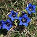 Blauer Enzian Mitte April auf ca. 1800m