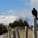Säntis noch im Winterkleid - auf der Alp Sigel bereits Frühling, da krähen selbst die Dohlen!