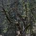Alter knorriger Baum bei Pré aux Auges<br />