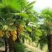 Blühende Palmen - wegen solcher Flora lohnt sich der weite Weg ins Tessin ;)