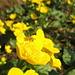 Caltha palustris oder Sumpfdotterblume